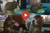 Monkey ask for treatment help to hospital staff