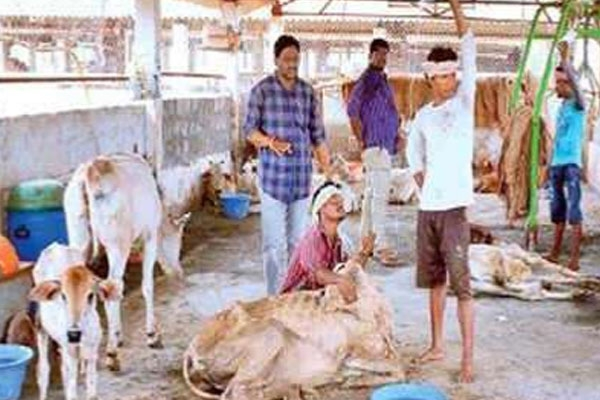 Ap animal husbandry director condems toxicity in death of 100 cows