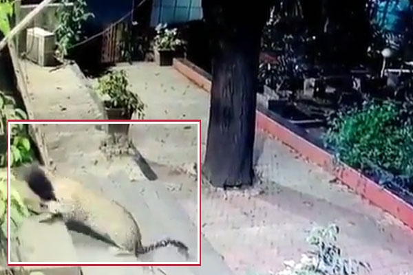 Leopard attacks two stray dogs in mumbai watch chilling footage